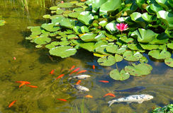 Goldfish. Garden fish pond with koi, goldfish and water lilies Royalty Free Stock Images