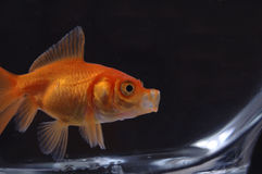 Goldfish 15. A closeup of a goldfish in a bowl against a black background royalty free stock photography