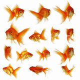 Goldfish. On a white background Stock Images
