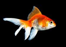 goldfish Obraz Royalty Free