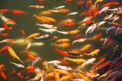 Goldfish Imagen de archivo
