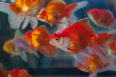 Goldfish. Details of goldfish in market, Thailand Royalty Free Stock Photos
