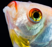 goldfish Стоковое фото RF