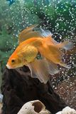 Goldfish. In an aquarium whit water bubbles on background Royalty Free Stock Images