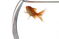 Goldfish 2. A closeup of a goldfish in a bowl against a white background stock photography
