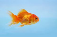 Goldfish stock photos
