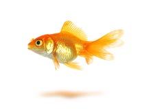 Goldfish. Beautiful goldfish isolated on white Royalty Free Stock Photography