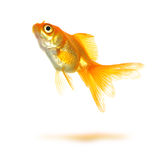 Goldfish Stock Photo