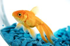 Goldfish photo libre de droits