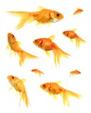 Goldfish. Assorted Goldfish Royalty Free Stock Photography