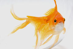 Goldfish. Photos stock