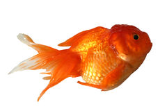 Goldfish. Looks like jumping.  close up royalty free stock image