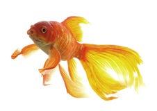 Goldfish Fotos de archivo
