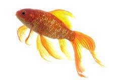 Goldfish Fotos de archivo libres de regalías