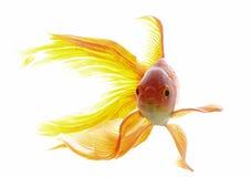 Goldfish Imagenes de archivo