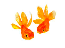 Goldfish. Two tropical fish . pair of goldfish couple  isolated on white Royalty Free Stock Images