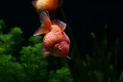 Goldfish Lizenzfreie Stockfotos