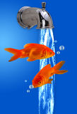 Goldfish. Stock Photos
