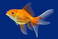 Goldfish Стоковая Фотография RF