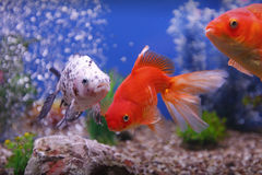 Goldfish Obraz Royalty Free
