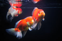 Goldfish. Stock Photography