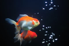 Goldfish. Royalty Free Stock Photo