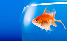 Goldfish. On a blue background Royalty Free Stock Photo