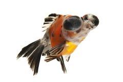 Goldfish. Fancy goldfish isolated on white backgound Royalty Free Stock Photos