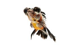Goldfish. Fancy goldfish isolated on white backgound Royalty Free Stock Image
