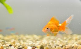 Goldfish in an aquarium with stones Royalty Free Stock Photography