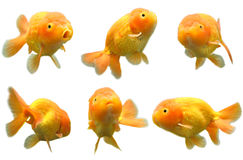 Goldfish Lizenzfreies Stockbild