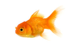 Goldfish. In front of a white background Royalty Free Stock Photos