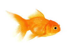 Goldfish. In front of a white background Stock Images
