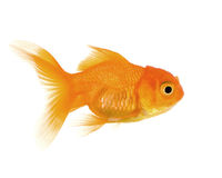 Goldfish Royalty Free Stock Image