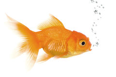 Goldfish. In front of a white background Royalty Free Stock Image