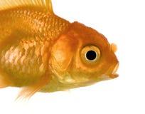 goldfish стоковая фотография