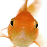 Goldfish. In front of a white background Stock Photo