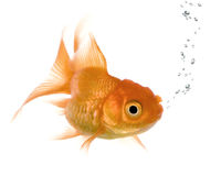 Goldfish. In front of a white background Stock Image