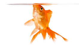 Goldfish. On a white background Royalty Free Stock Photos