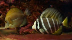 Goldfish Στοκ Εικόνα