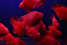 Goldfish Στοκ φωτογραφία με δικαίωμα ελεύθερης χρήσης