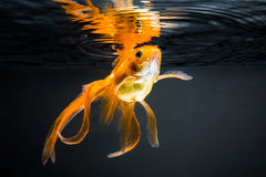 Goldfish. On a black background Royalty Free Stock Photos