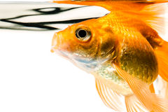 Goldfish. On a white background Royalty Free Stock Images