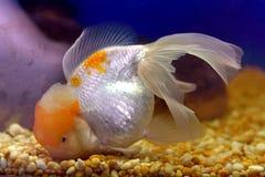 Goldfish Fotografía de archivo