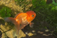 Goldfish Immagine Stock