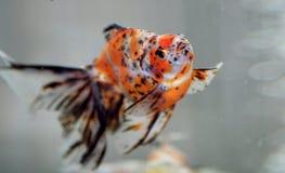 goldfish Стоковые Изображения RF