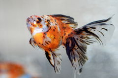 Goldfish Stock Images
