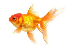 Goldfish foto de stock royalty free