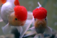 Goldfish Photographie stock