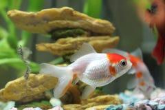 Goldfish Imagem de Stock Royalty Free